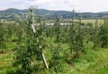 Kiepska kondycja produkcji węgierskich jabłek