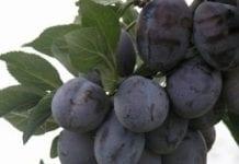 Pordzewiacz śliwowy i przędziorek owocowiec – nie mają szans