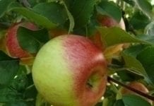 Szara pleśń jabłek – do opanowania