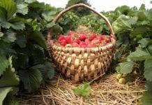 Minister u producentów truskawki kaszubskiej