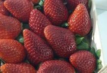 Trudny sezon truskawkowy na południu Europy