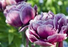 Tulipany podwójne kwiatami cebulowymi roku