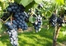 Dni województwa lubuskiego okazją do poznania winnic i pasiek