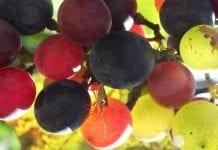 W Gruzji kończy się zbiór winogron