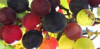 Rosja: rodzime wino podkreśla image władzy