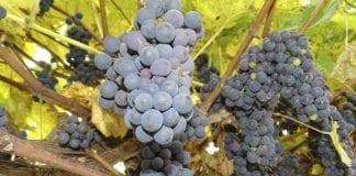 Zapasy winogron w Mołdawii