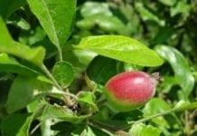 Uwaga na możliwość ordzawień owoców!