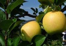 Historyczne porozumienie: La Trentina i Melinda będą wspólnie sprzedawać jabłka