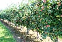 Północny Kaukaz myśli o eksporcie owoców