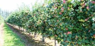 Produkcja sadownicza na Litwie i Łotwie