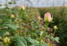 Kwiaty szklarniowe w Rosji – głównie z importu