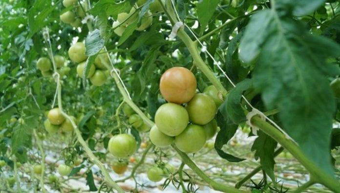 Pomidory w szklarnie