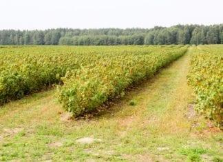 Susza rolnicza także w uprawach krzewów owocowych