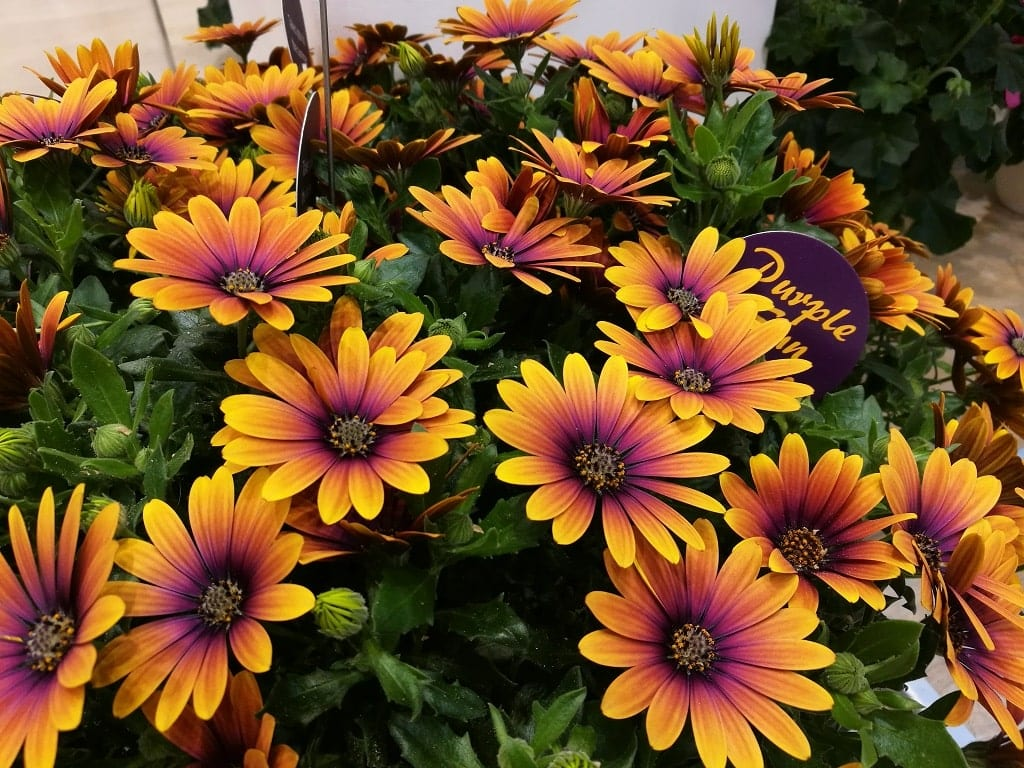Mimo styczniowego terminu targów wystawcom udaje się dobrze zaprezentować nawet rośliny kojarzone z późną wiosną i latem