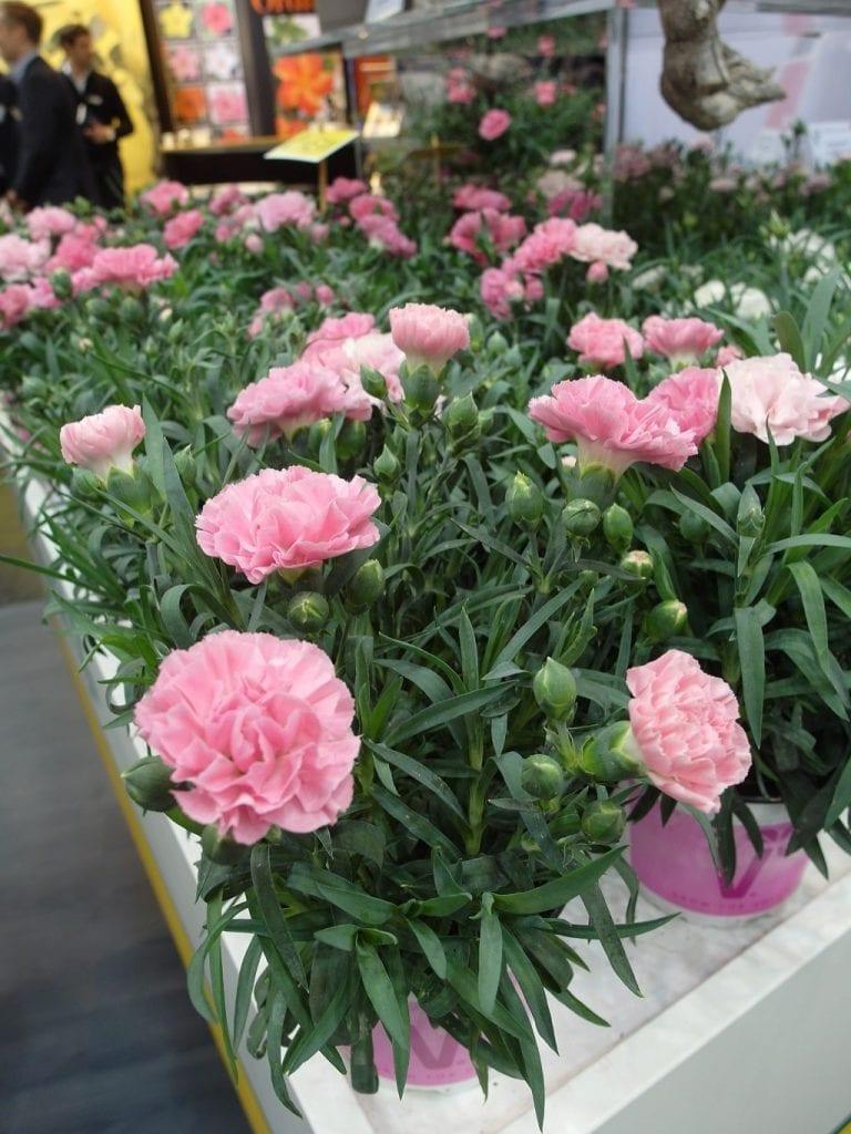 Na targach w Essen nie brakuje roślin kwitnących wiosną - 3
