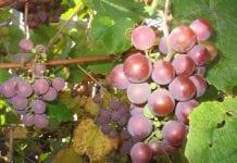 Ważne informacje dla producentów wina