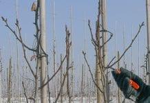 Cięcie drzew owocowych – 15 błędów podczas prowadzenie sadu