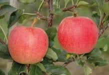 Czy świeże jabłka z południowej półkuli wpłyną na europejskie ceny