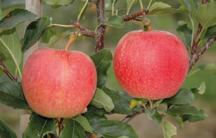 Gala odmiana jabłoni
