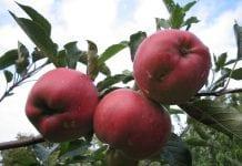 Owoce w 2019 – prognoza Zespołu Analiz Sektorowych Banku PKO BP