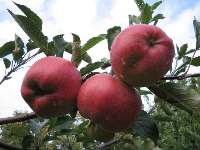 jabłka 2019