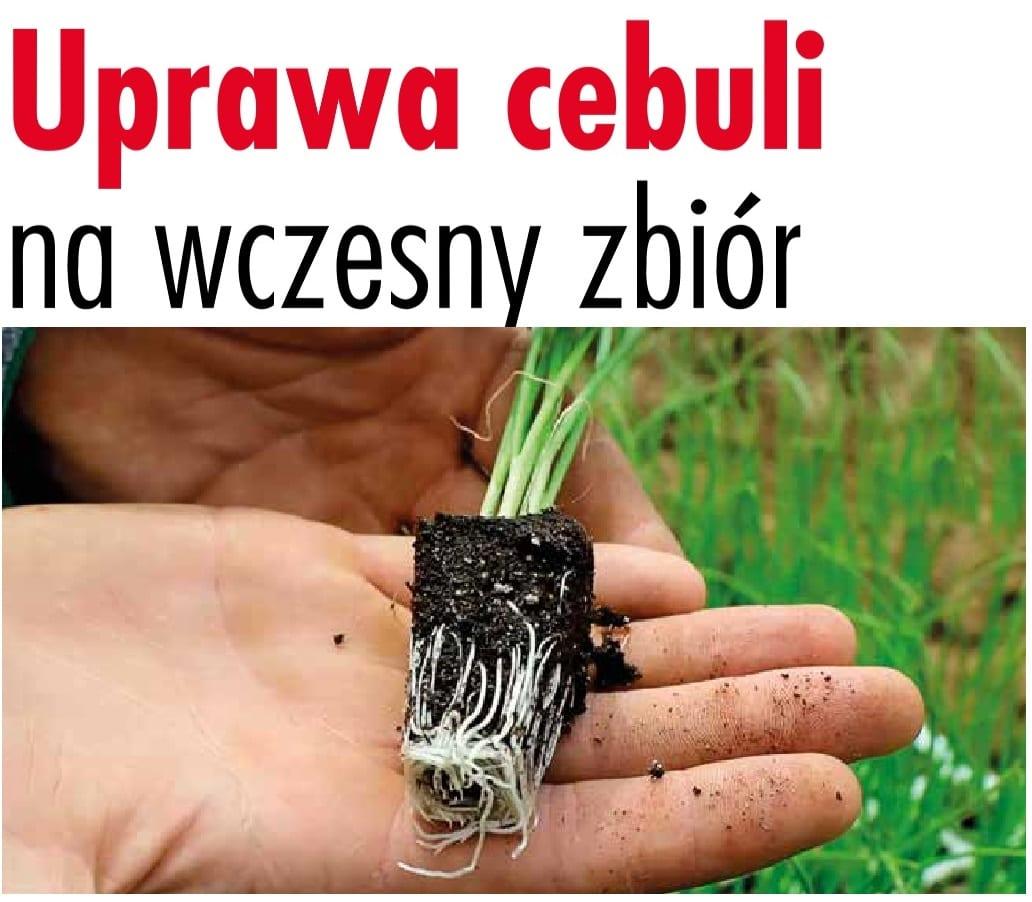 Uprawa cebuli na wczesny zbiór - Warzywa.pl