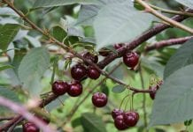 Grupa inicjatywna: zapraszamy wszystkich producentów wiśni