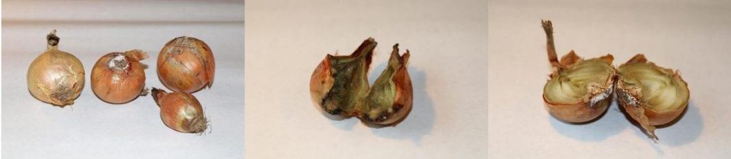 Zgnilizna cebuli