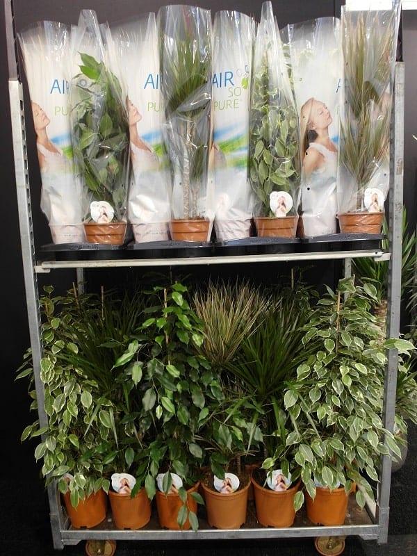 Coraz bardziej widoczne są rośliny o dekoracyjnych liściach wykorzystywane do dekorowania wnętrz