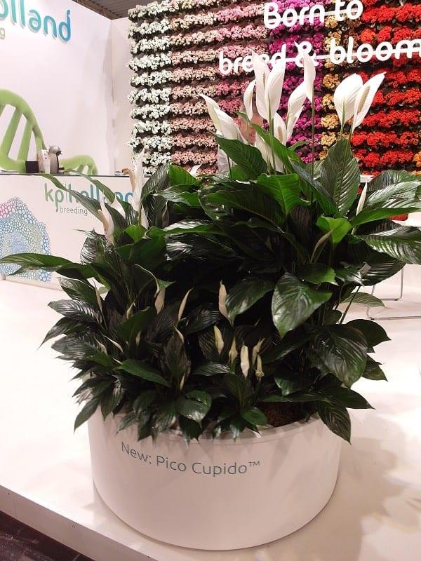 Własne odmiany skrzydłokwiatu z grupy Cupido na stoisku firmy KP Holland