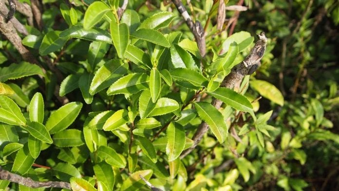 Krzewy herbaty na Ukrainie