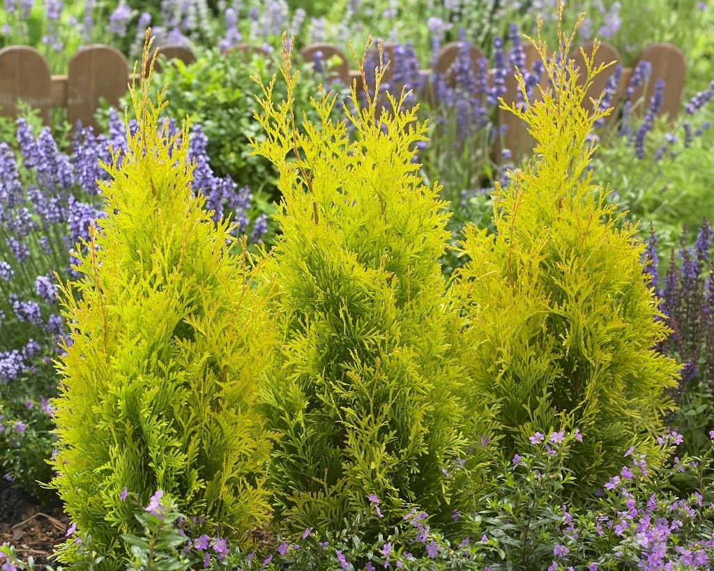Żywotnik zachodni (Thuja occidentalis) 'Sunny Smaragd'