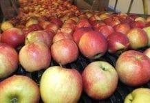WAPA: stan zapasów jabłek w Europie na dzień 1 lutego 2019