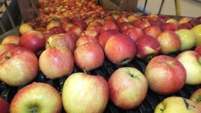 Zapasy jabłek w Europie i Polsce