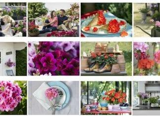 Proste sposoby pielęgnacji pelargonii – jak wyhodować okazały gąszcz kwiatów