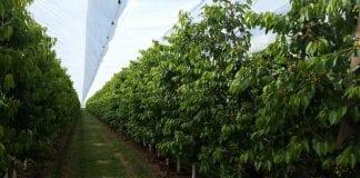 Produkcja czereśni: rozwiązanie Arrigoni Green przeciw ulewnym deszczom i szkodnikom