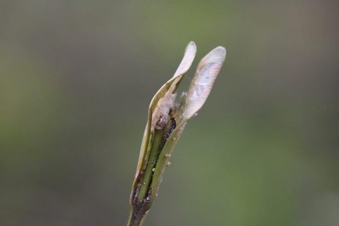 Kryjówka zimowa młodej gąsienicy ćmy bukszpanowej - fot. K.Kupczak