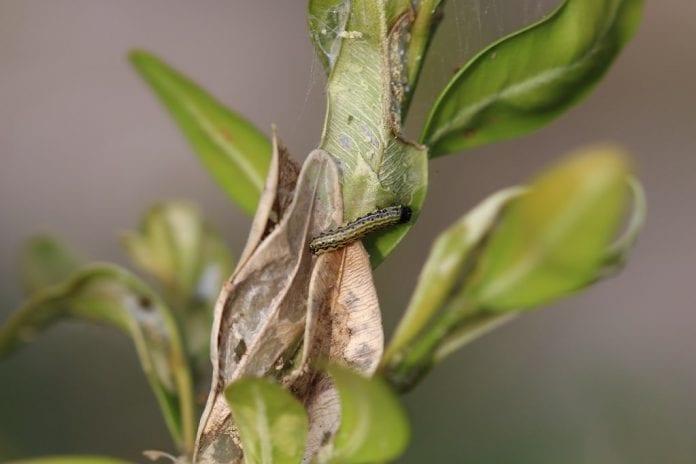 Silnie uszkodzone liście zamierają - fot. K.Kupczak