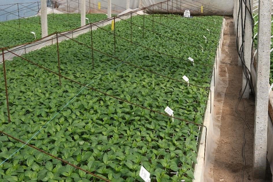 Zdjęcie nr 14. Doświadczenie z podlewaniem roślin papryki biopreparatami po pikowaniu siewek.