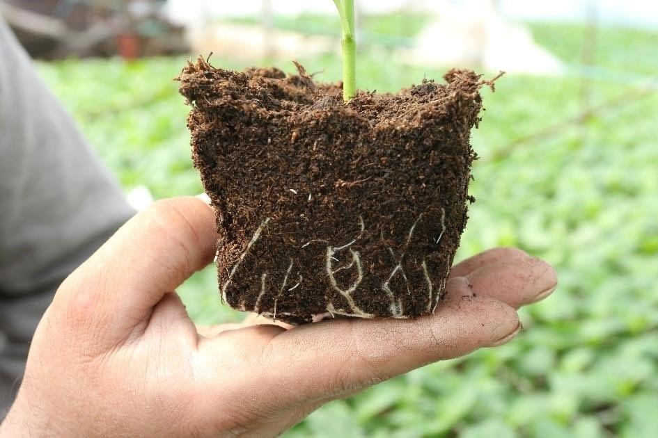 Zdjęcie nr 16. System korzeniowy rośliny Kontrolnej.