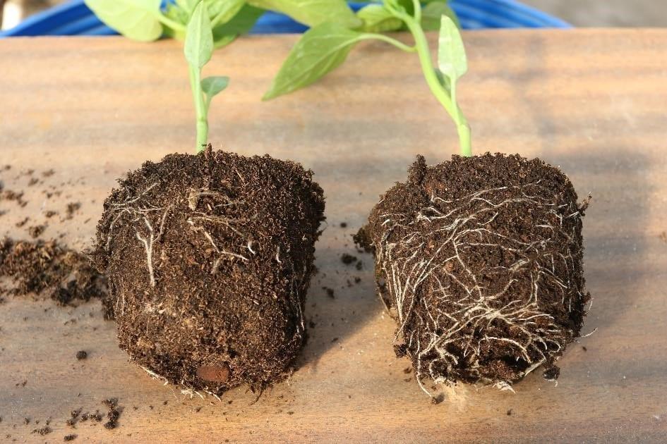 Zdjęcie nr 17. Po prawej system korzeniowy rośliny papryki podlanej BACTIM RADINET, po lewej system korzeniowy rośliny Kontrolnej.