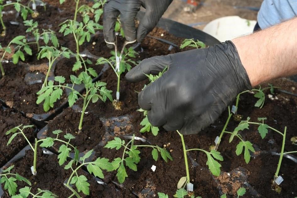 Zdjęcie nr 21. Prace przy pikowaniu roślin pomidora w toku, po pikowaniu będziemy podlewać rośliny naszymi biopreparatami.