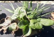 Komunikat jagodowy Agrosimex z dnia 3.04.2019 – zalecenia wiosenne w truskawce