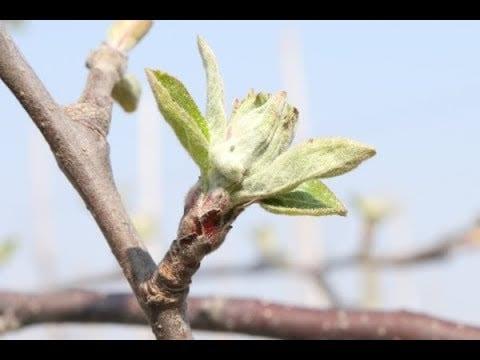 Komunikat sadowniczy AGROSIMEX z dnia 10.04.2019 – ochrona przed kwitnieniem