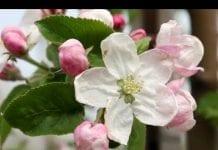 Komunikat sadowniczy Agrosimex z dnia 24.04.2019 – ochrona i regulacja podczas kwitnienia