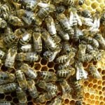 Ratunek dla pszczół