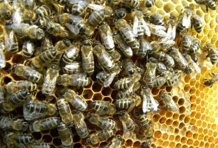 Pszczoły na plastrze
