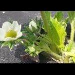 Komunikat jagodowy Agrosimex z dnia 24.04.2019 – ochrona podczas kwitnienia