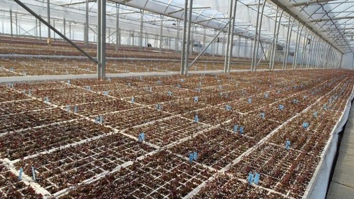 Jednoroczne sadzonki po pierwszej zimie