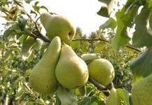 Zwalczanie miodówek i mszyc w gruszach